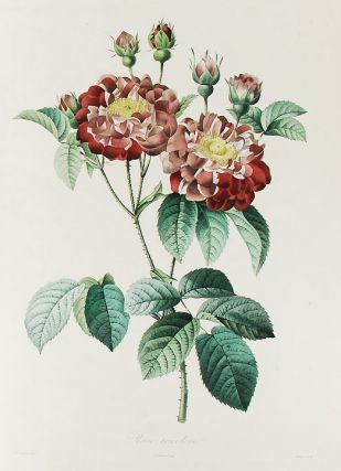 Rose tricolore. After Pierre-Joseph REDOUT&Eacute