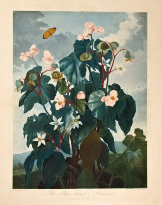 The Oblique-Leaved Begonia. Robert John THORNTON, - Peter REINAGLE