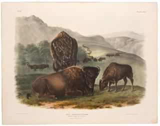 American Bison or Buffalo. John James AUDUBON