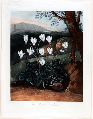 The Persian Cyclamen. Robert John THORNTON, - Abraham PETHER