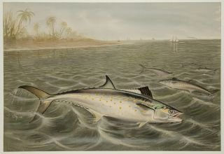 Spanish Mackerel. S. A. KILBOURNE