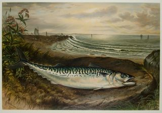 The Mackerel. S. A. KILBOURNE