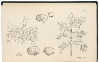 The Potatoe Plant, its uses and properties: together with the cause of the present malady