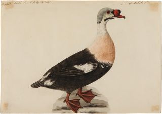 [Pair of Original Watercolors featuring the Buffle-Headed Duck and the King Eider Duck]. SARAH STONE, attributed.