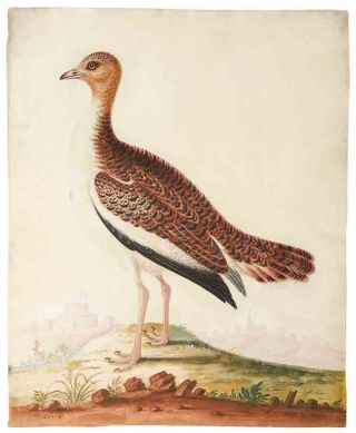 The Bustard Cock [and] The Hen Bustard ... [Pair of ornithological watercolours signed, depicting a male and female Great Bustard]