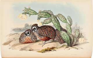 A Monograph of the Odontophorinae, or Partridges of America