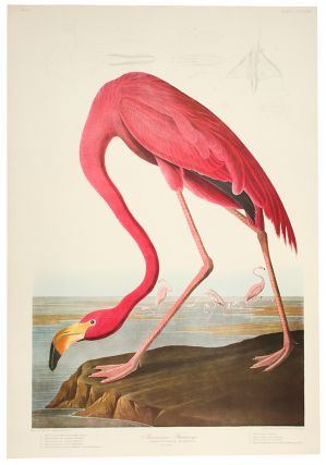American Flamingo. John James AUDUBON.