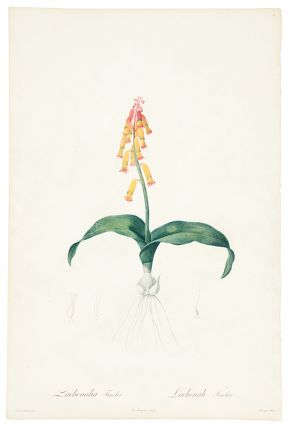 Lachenalia Tricolor / Lachenale Tricolore [Cape Cowslip, Three-colored Lachenalia]. Pierre-Joseph...