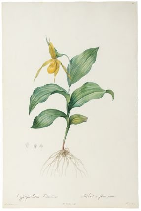 Cypripedium Flavescens / Sabot à fleur jaune [Yellow Lady-slipper]. Pierre-Joseph REDOUT&Eacute