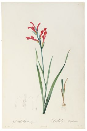 Antholyza Cunonia / Antholise Papilionacée [Gladiolus cunionus, Sword Lily, Scarlet-flowered...