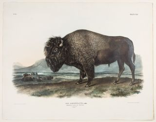 American Bison or Buffalo ... Male. John James AUDUBON
