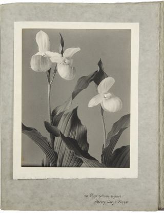 The Orchids of New England and New York. Photographed from Life and Published by Edwin Hale Lincoln [manuscript title]