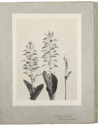 The Orchids of New England and New York. Photographed from Life and Published by Edwin Hale...