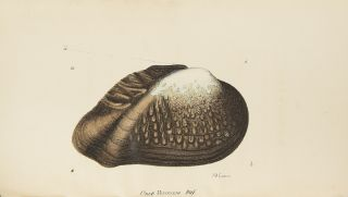 A Monograph of the Fluviatile Bivalve Shells of the River Ohio, containing twelve genera and...