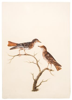A Pair of Wrynecks on a Branch]. Peter PAILLOU