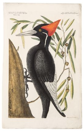 Largest White bill'd Woodpecker. Mark CATESBY