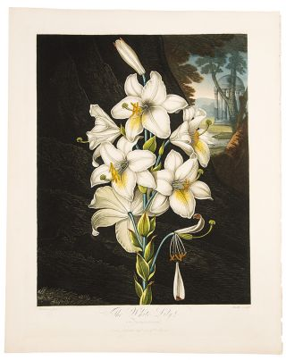 The White Lily. Robert John THORNTON, - Peter HENDERSON