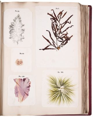 Algae and Corallines, of the Bay & Harbor of New York
