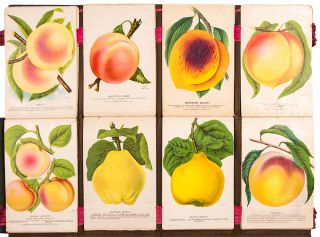 [A tree-peddler's sample book containing a large collection of colour botanical and pomological specimen plates]