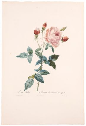 Rosa Indica / Rosier du Bengale (Cent feuille). After Pierre-Joseph REDOUT&Eacute