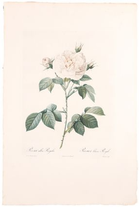 Rosa alba Regalis / Rosier blanc Royal. After Pierre-Joseph REDOUT&Eacute
