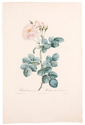 Rosa Damascena aurora / Rosier Aurore Poniatowska. After Pierre-Joseph REDOUT&Eacute