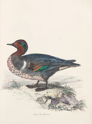Sir William Jardine's Illustrations of the Duck Tribe