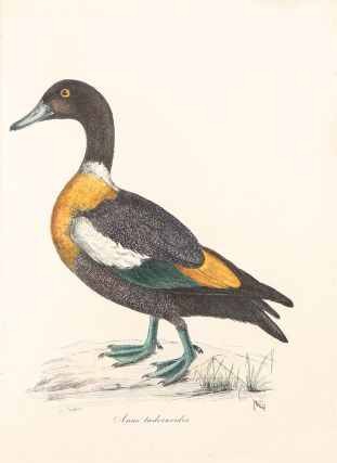Sir William Jardine's Illustrations of the Duck Tribe. Sir William JARDINE
